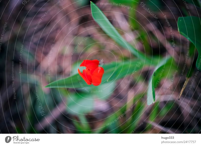 Red Tulip Earth Spring Plant Leaf Blossom Garden Park Beautiful Uniqueness Brown Green Individual Calyx Spring flower Blur Colour photo Exterior shot