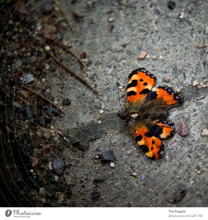 Old butterfly Animal Beautiful Butterfly Paving stone Feeler Wing Orange Small tortoiseshell Bird's-eye view Animal portrait