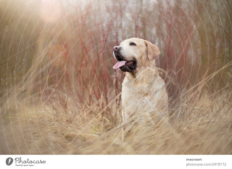 Labrador retriever Blonde Exterior shot Sit Seat Nature Landscape Animal family dog leak flare Mammal Breathe Dog Purebred dog