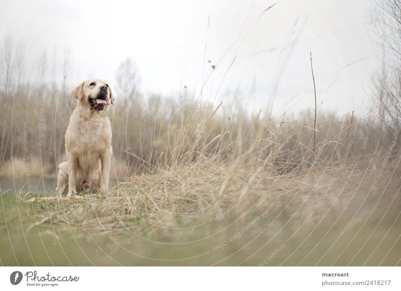 Labrador retriever labbi retriver Dog Purebred dog Blonde Animal Pet Walk the dog Nature Natural Exterior shot To go for a walk Livestock breeding Breed