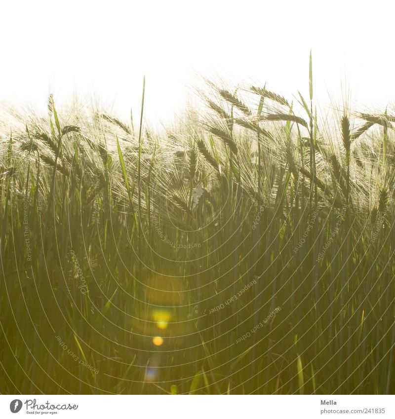 Nature Plant Summer Landscape Field Environment Growth Natural Grain Agriculture Mature Blade of grass Forestry Ear of corn Cereals Grain field