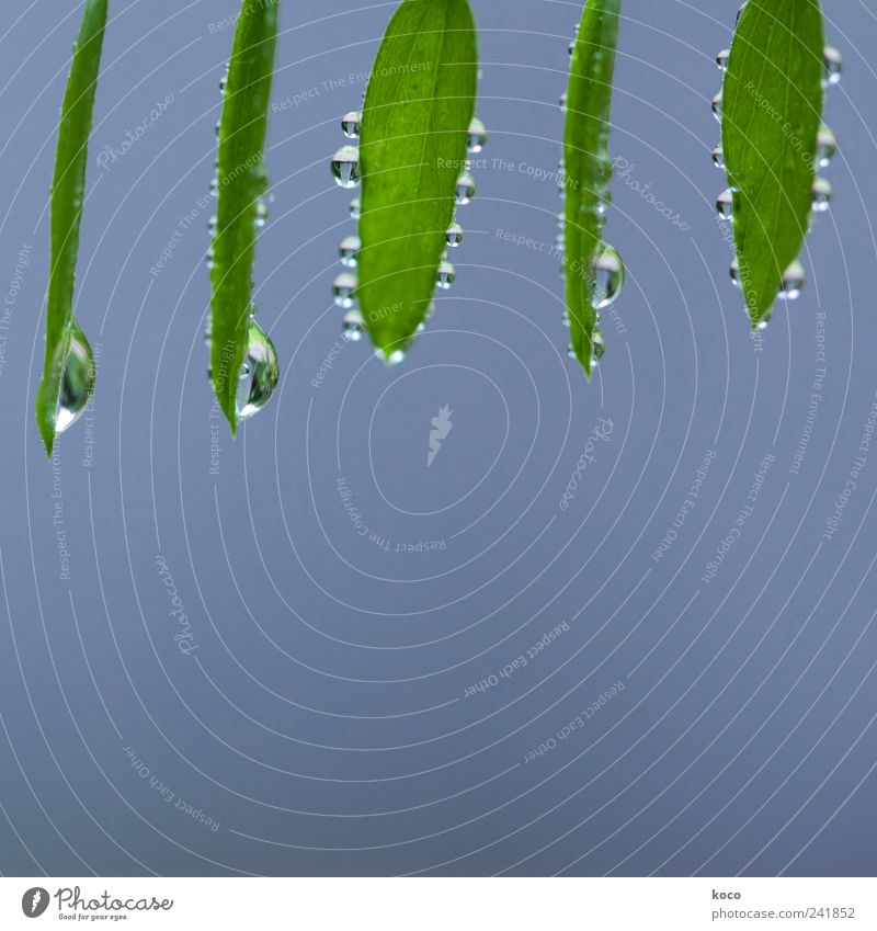 Leaves with drips for Manun Happy Beautiful Life Harmonious Contentment Spa Friendship Nature Water Drops of water Spring Summer Leaf Herd Hang Fluid