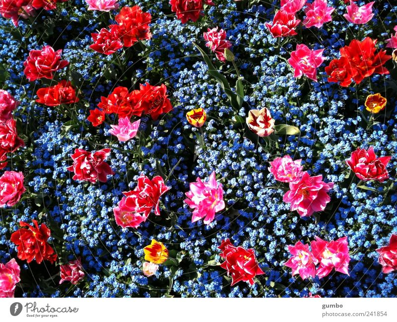 Nature Flower Blue Plant Red Colour Garden Park Pink Environment Crazy Happiness Kitsch Tulip Beautiful weather