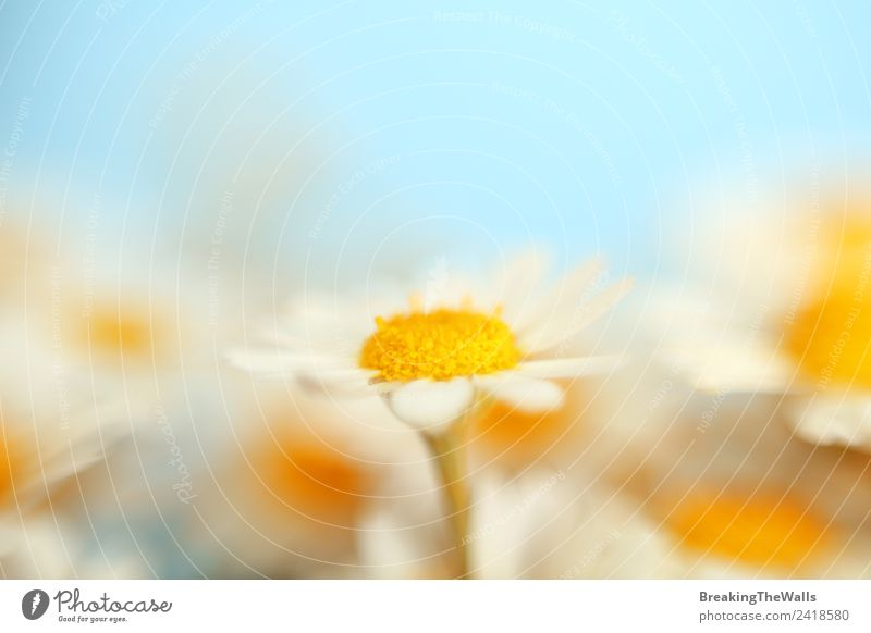 Close up camomile flowers over blue sky Nature Sky Cloudless sky Spring Summer Plant Blossom Wild plant Garden Meadow Field Beautiful Soft Blue Multicoloured