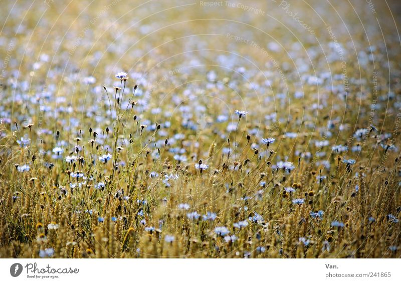 floral picture Grain Nature Plant Summer Flower Blossom Agricultural crop Cornflower Field Beautiful Blue Yellow Calm Mature Wheat Colour photo Exterior shot