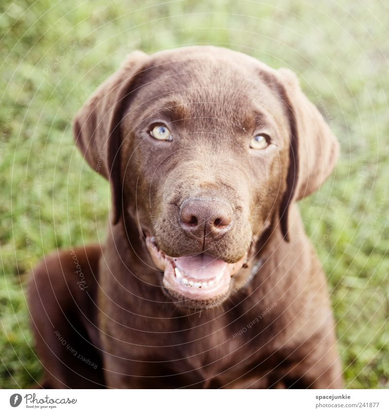Animal Dog Friendship Brown Animal face Pelt Curiosity Discover Cute Pet Snout Sympathy Crouch Puppy Labrador Puppydog eyes