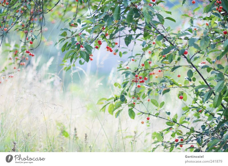 Nature Plant Summer Landscape Environment Meadow Grass Natural Cherry Cherry tree Love of nature Fruit