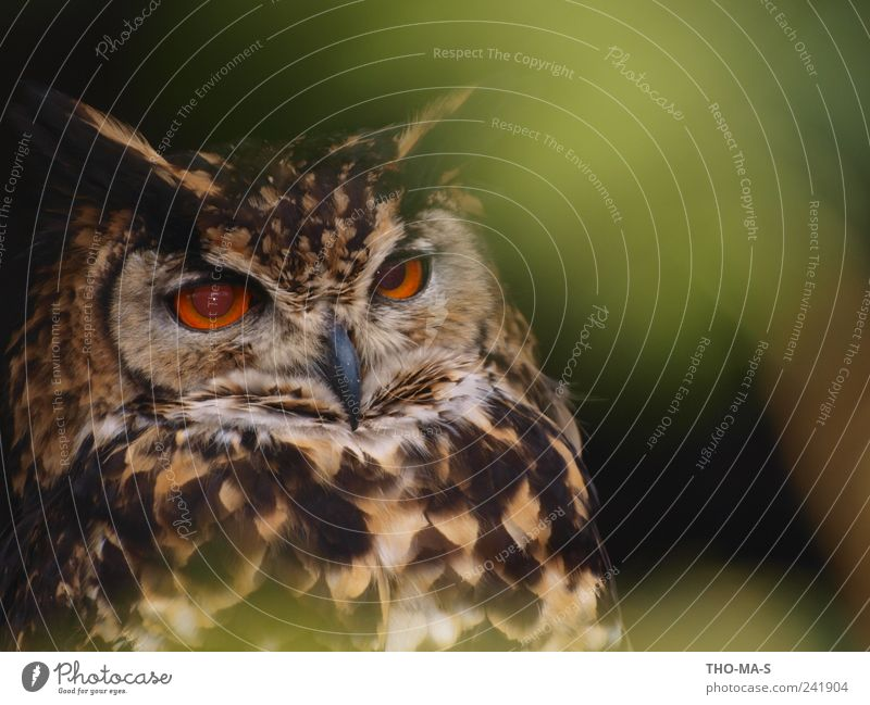 eye-catcher Animal Wild animal Animal face Wing Owl birds Eagle owl 1 Flying To feed Hunting Brown Yellow Green Patient Calm Elegant Speed Eyes Feather Beak