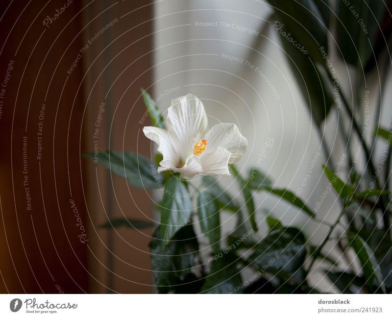 white flower. Plant Flower Foliage plant Pot plant Nostalgia Still Life White Colour photo Subdued colour Interior shot Close-up Copy Space left Copy Space top