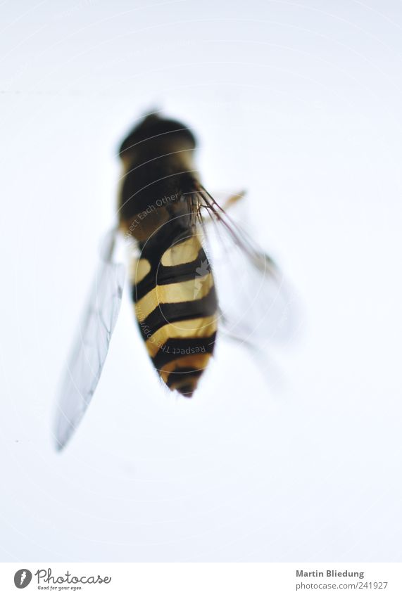 White Black Animal Yellow Environment Authentic Near Thin Natural Transparent Hang Hover fly