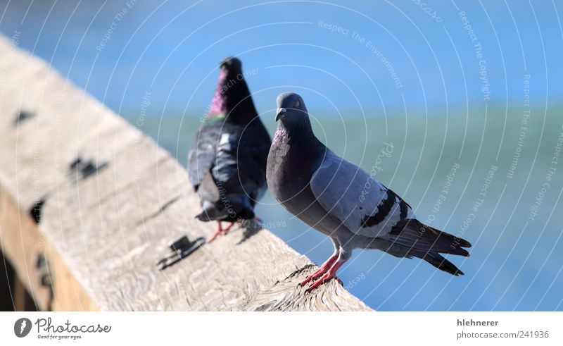 Pigeon Nature Beautiful Blue Animal Freedom Gray Bird Wait Small Stand Peace Feather Wing Beak Stay