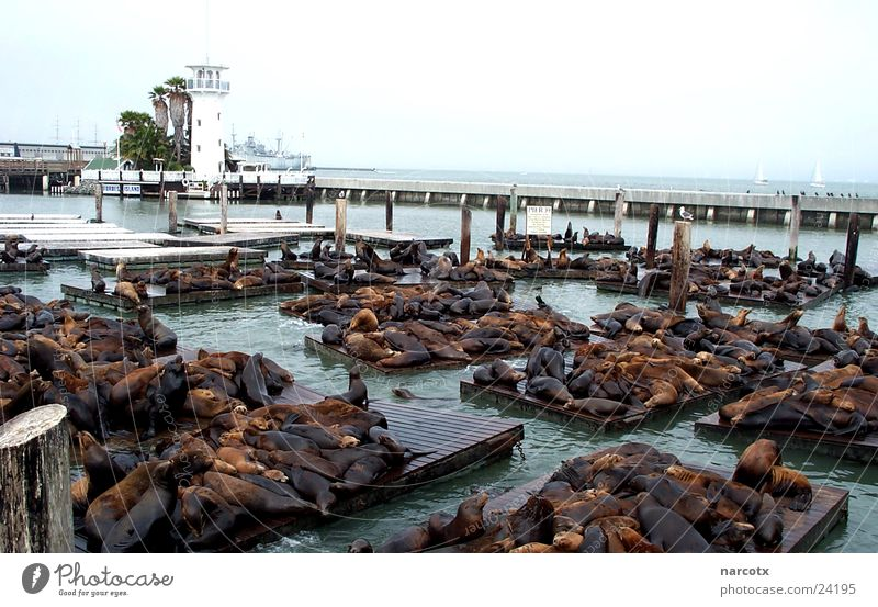 Ocean Calm Harbour Jetty Famousness Seals Goof off Animal Attraction Maximum Destination San Francisco Sea lion