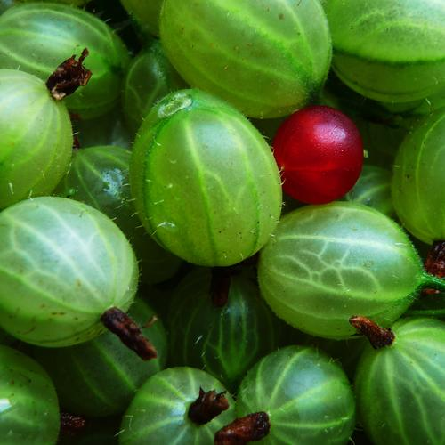FIND THE MISTAKE Food Fruit Vegetarian diet To enjoy Illuminate Juicy Sour Thorny Green Red Loneliness Nature Healthy Outsider Gooseberry Redcurrant Tolerant