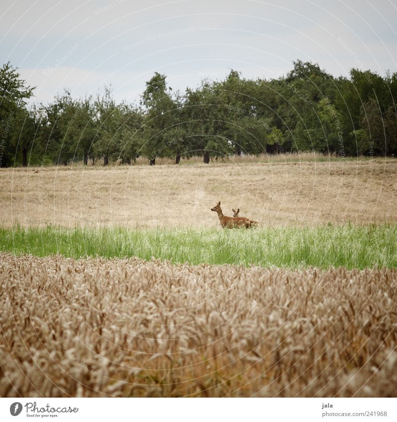 Nature Sky Tree Green Blue Plant Animal Yellow Grass Landscape Natural Wild animal Roe deer Foliage plant Agricultural crop Fawn