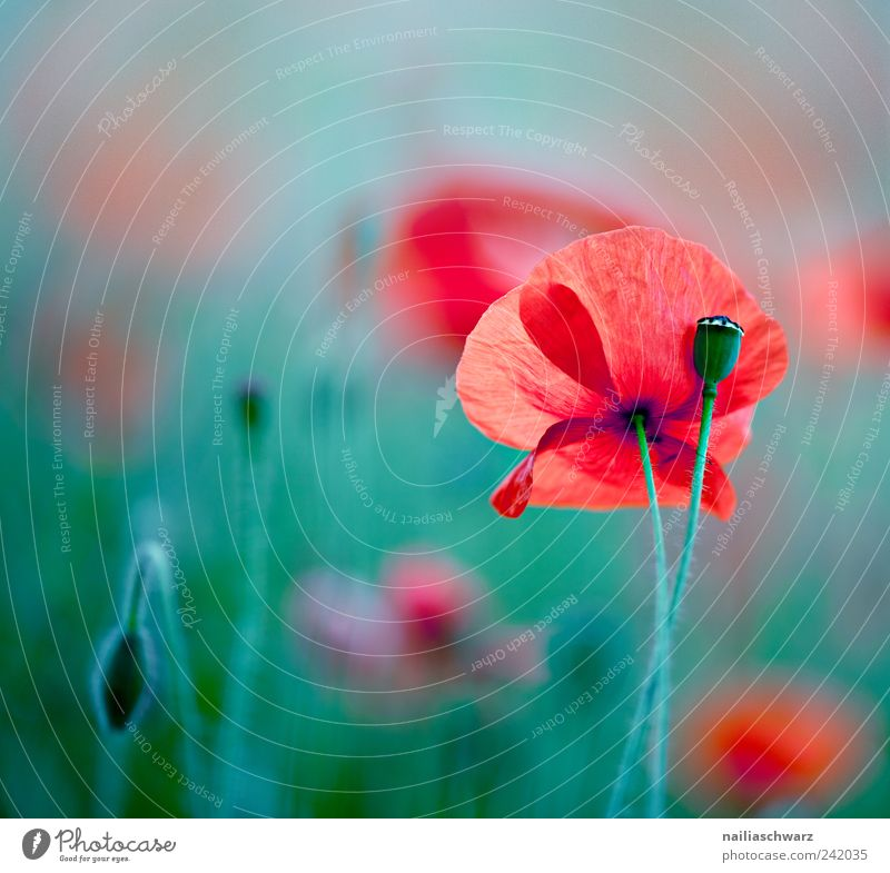 Nature Flower Green Plant Red Meadow Blossom Field Environment Fresh Esthetic Blossoming Poppy Poppy blossom Poppy field