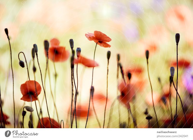 Nature Plant Summer Meadow Blossom Spring Field Environment Esthetic Blossoming Poppy Poppy blossom Poppy field