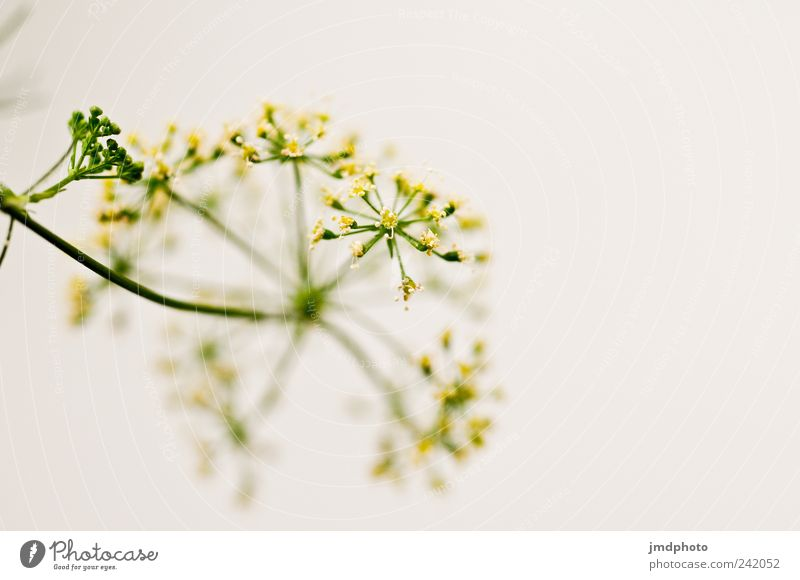 Parsley - Blossom Elegant Happy Senses Environment Nature Plant Bushes Foliage plant Agricultural crop Garden Blossoming Esthetic Fragrance Happiness Fresh
