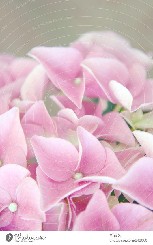Flower Plant Blossom Spring Pink Delicate Blossoming Fragrance Hydrangea Hydrangea blossom