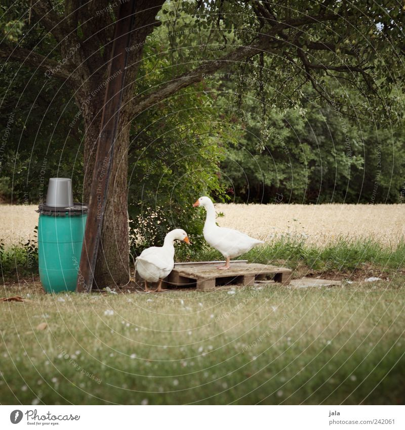 geese Nature Landscape Summer Plant Tree Grass Bushes Foliage plant Wild plant Animal Farm animal Goose 2 Pair of animals Free Natural Green White Colour photo