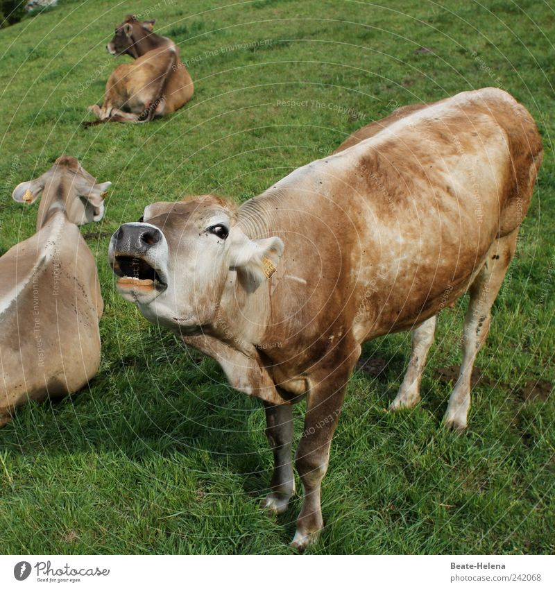 Mad cow disease - nature strikes back Meat Nature Sunlight Summer Animal Farm animal Cow Group of animals To feed Scream Stand Exceptional Rebellious Brown