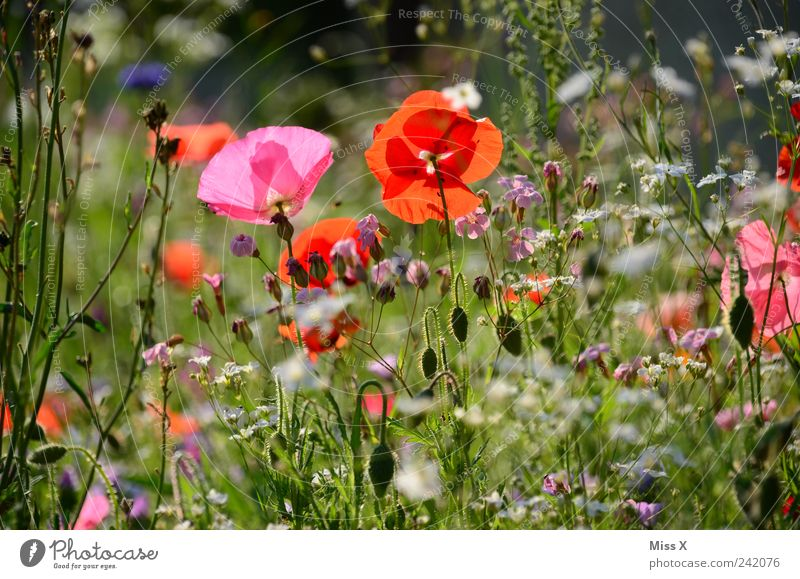 Nature Flower Plant Summer Leaf Meadow Blossom Grass Spring Garden Pink Growth Kitsch Blossoming Fragrance Poppy