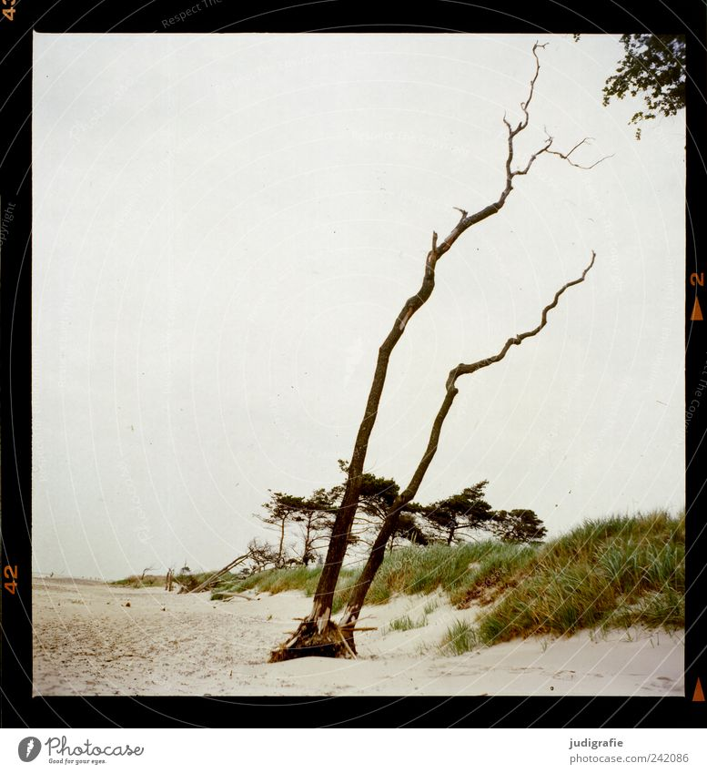 western beach Environment Nature Landscape Plant Tree Coast Beach Baltic Sea Darss Western Beach To dry up Growth Natural Wild Moody Transience Change Analog