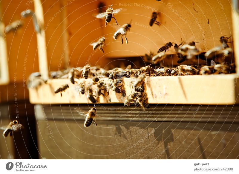 honey scent Sunlight Summer Beautiful weather Animal Farm animal Beehive Flock Work and employment Movement Flying Threat Fragrance Sustainability Natural Brown