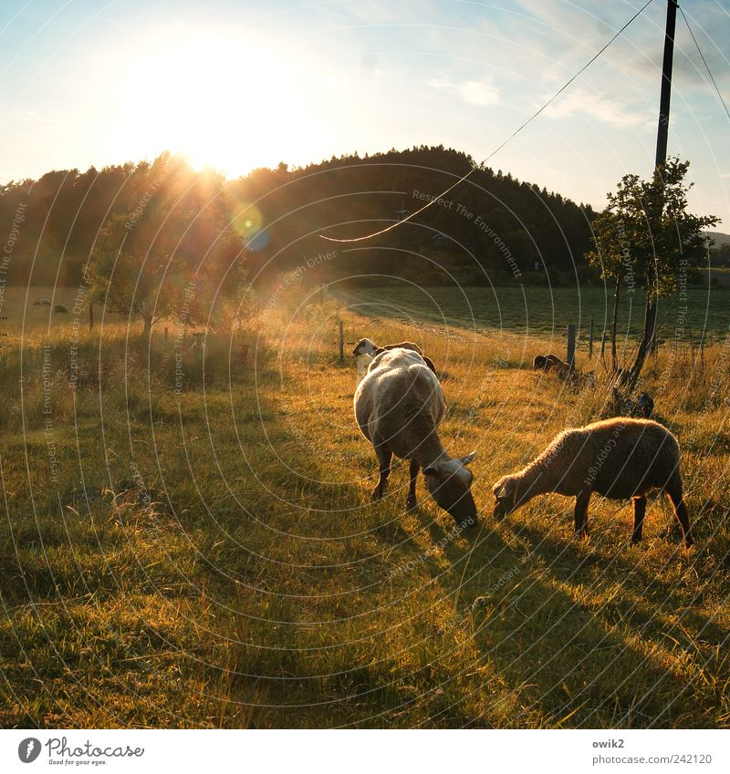 Brothers share Environment Nature Landscape Plant Animal Sky Horizon Summer Climate Weather Beautiful weather Tree Grass Bushes Meadow Forest Bohuslän Sheep