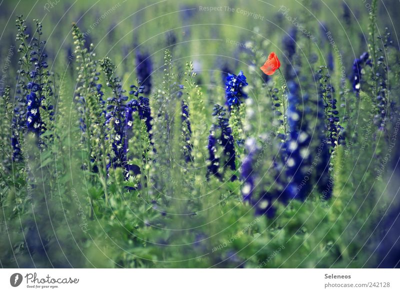 Nature Flower Plant Summer Vacation & Travel Leaf Meadow Blossom Spring Freedom Garden Field Environment Trip Blossoming Poppy