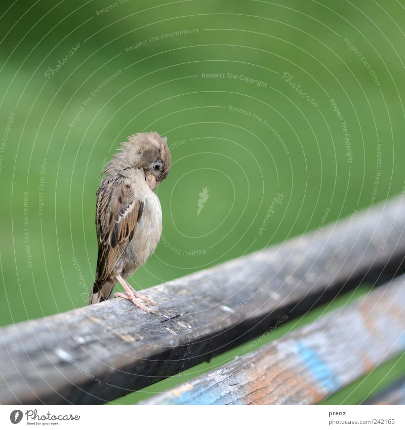 upright Animal Park Wild animal Bird 1 Wood Stand Gray Green Bench Wooden board Wing Feather Sparrow Colour photo Exterior shot Deserted Neutral Background Day
