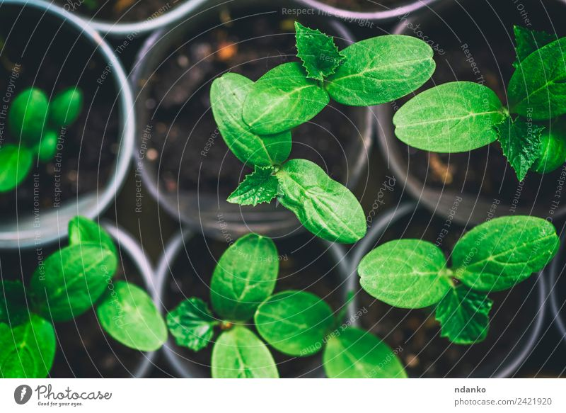 green shoots of a cucumber in a pot Gardening Environment Nature Plant Leaf Growth Fresh Small Above Green young background agriculture Botany spring
