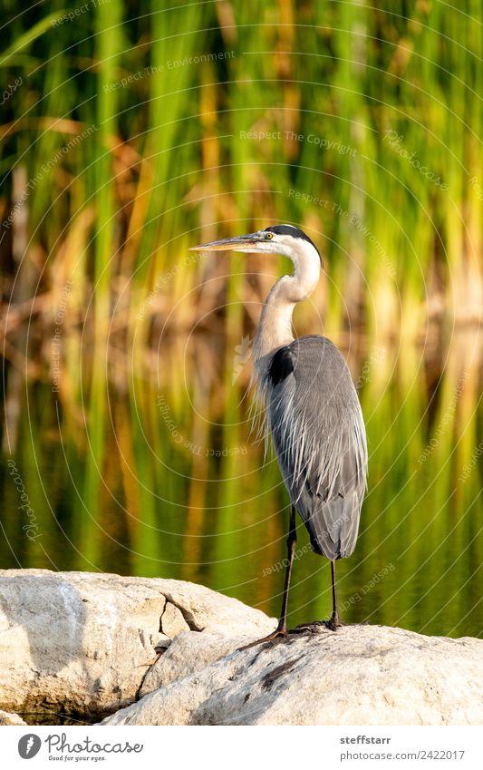 Great blue heron wading bird Ardea herodias perches on a rock Nature Coast Pond Animal Wild animal Bird Wing 1 Water Blue Green Heron great blue heron