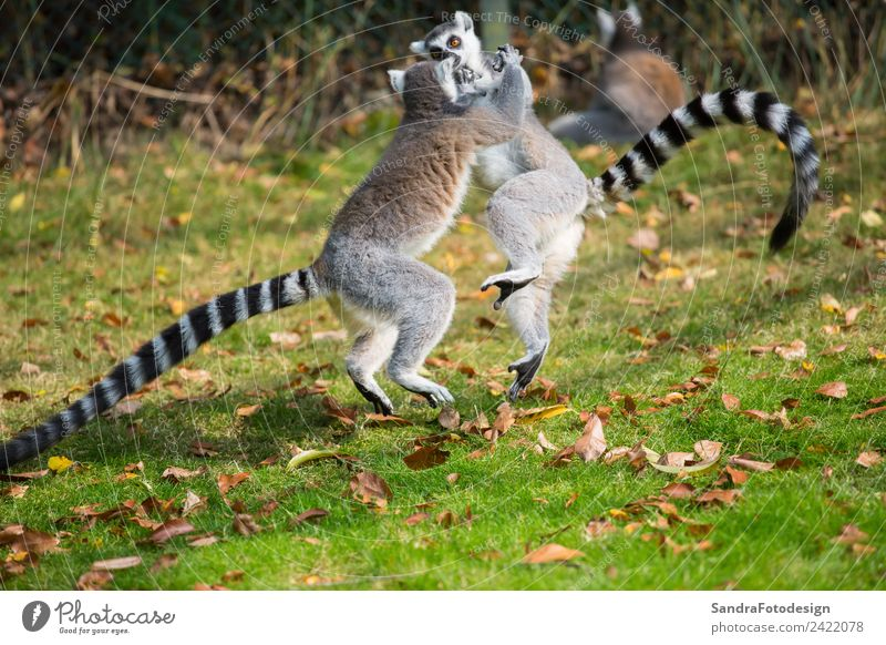 Lemurs play outside on a meadow Summer Family & Relations Zoo Nature Garden Park Meadow Animal Wild animal 2 Love of animals lemur mammal For white primates