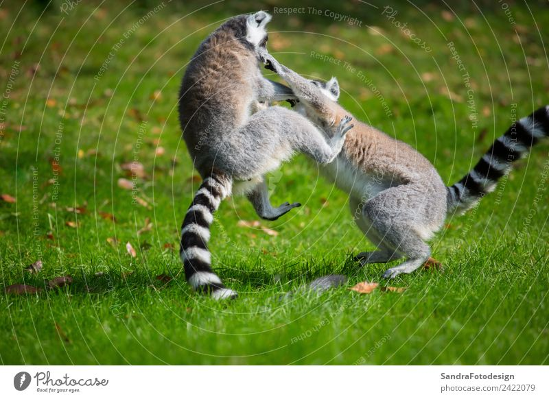 Lemurs play outside on a meadow Summer Family & Relations Zoo Nature Animal 2 Joy Happy Happiness Contentment Love of animals lemur mammal For white Wild