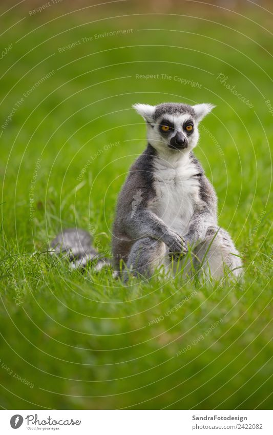 A lemur sits alone in the grass outdoors Summer Family & Relations Zoo Nature Animal Wild animal 1 Contentment Acceptance Trust Safety Safety (feeling of) Loyal