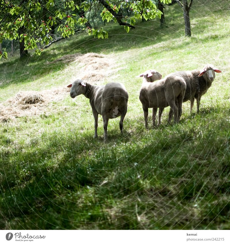 No sheep leaves the flock Environment Nature Animal Summer Beautiful weather Plant Tree Grass Meadow Pasture Farm animal Animal face Pelt Sheep Flock 3