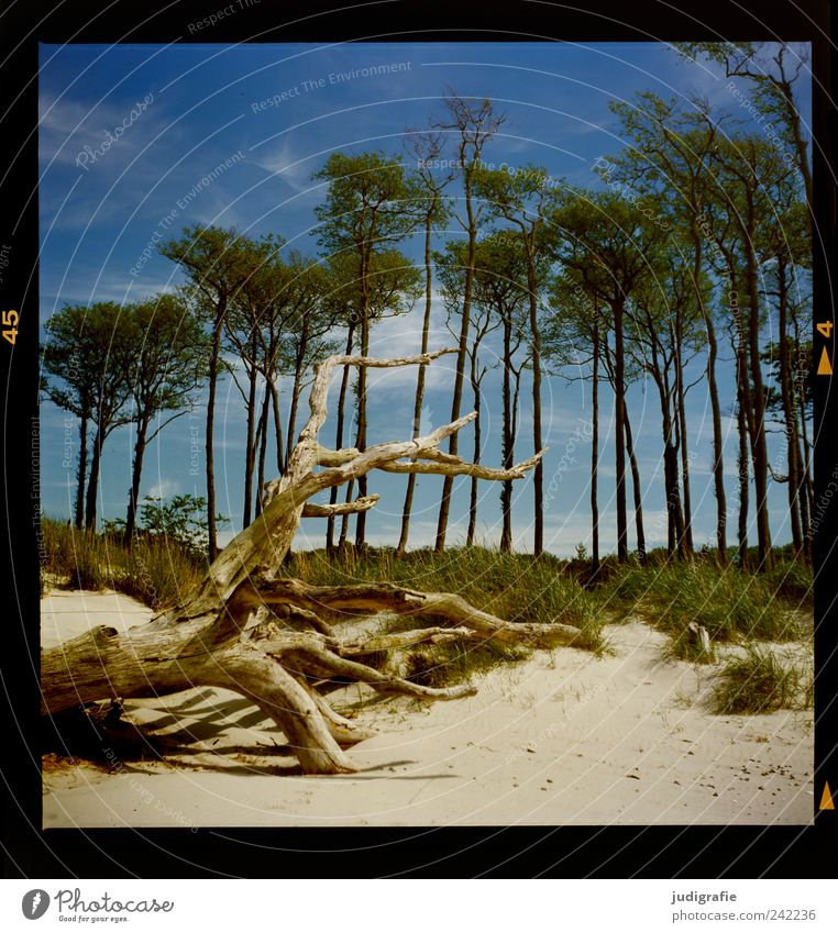 western beach Environment Nature Landscape Plant Sky Clouds Tree Grass Coast Beach Baltic Sea Darss Western Beach To dry up Growth Cold Natural Wild Moody Idyll