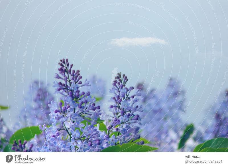 Nature Blue Plant Leaf Blossom Spring Violet Blossoming Fragrance Beautiful weather Lilac