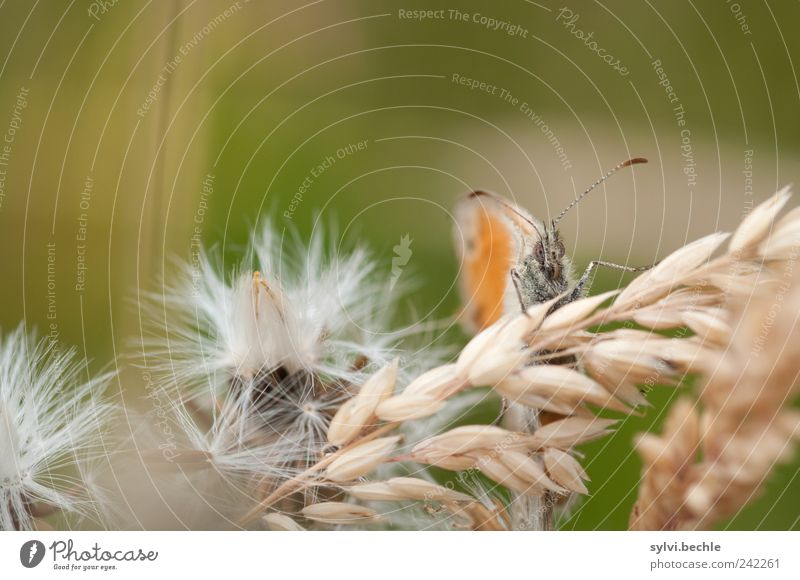 Nature Plant Summer Animal Relaxation Grass Field Wait Small Environment Sit Grain Butterfly Dandelion Wild animal Hide