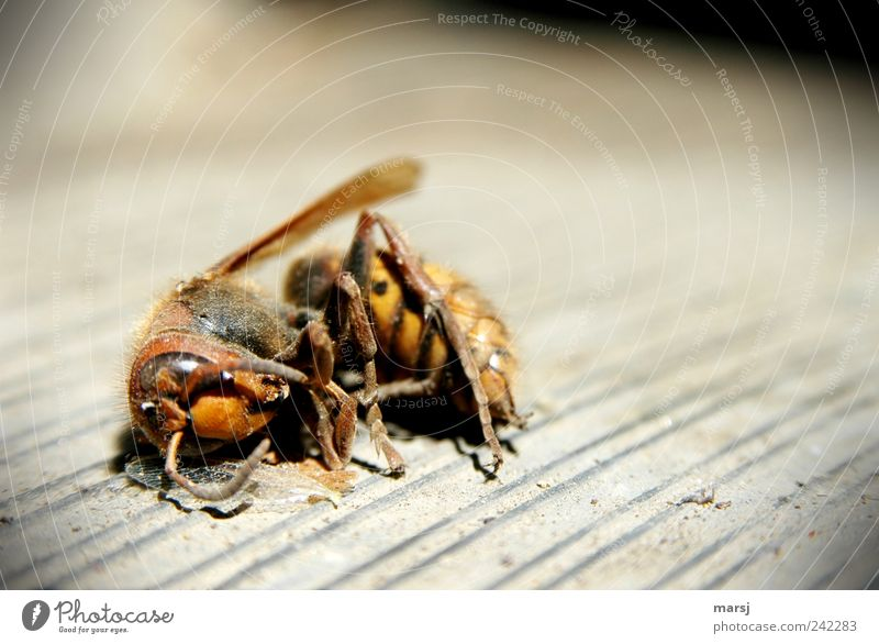 Here I stay Nature Animal Wild animal Dead animal Wing Hornet Dead Hornet 1 Lie Disgust Near Natural Gloomy Yellow Gray Black Death Loneliness End Past