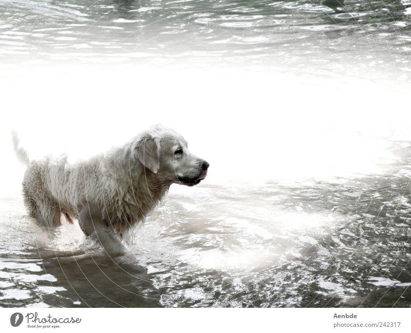 dog's life Nature Water Summer Beautiful weather River bank Animal Pet Dog 1 Swimming & Bathing Cooling Pelt Wet Hot Black & white photo Exterior shot Deserted