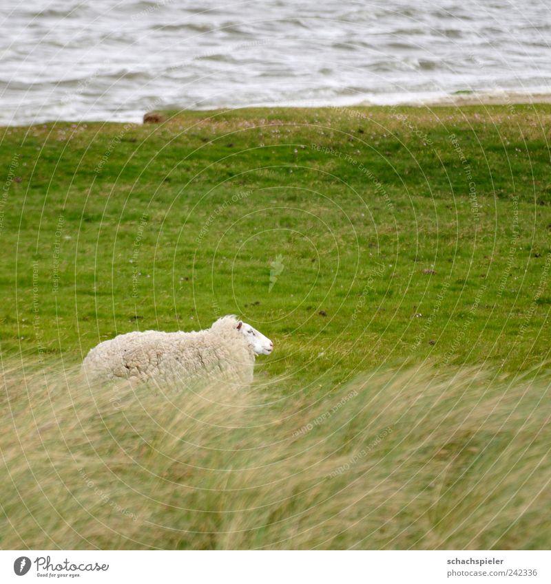 Nature Water White Green Loneliness Animal Grass Landscape Coast Wind Sheep North Sea Farm animal Salt meadow