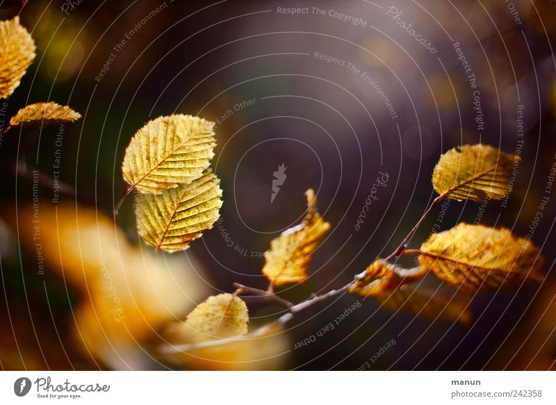 Nature Beautiful Tree Leaf Autumn Brown Gold Authentic Natural Autumn leaves Twigs and branches Autumnal Autumnal colours