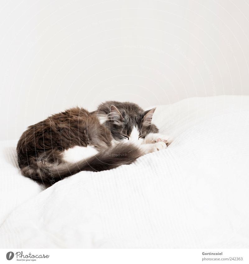White Calm Animal Gray Cat Bright Sleep Bed Animal face Lie Pelt Paw Safety (feeling of) Pet Tails Long-haired