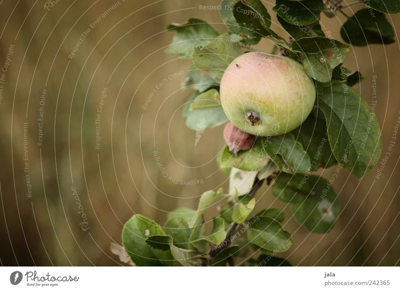 apple Food Fruit Apple Nutrition Organic produce Vegetarian diet Nature Plant Tree Grass Agricultural crop Delicious Natural Gold Green Colour photo