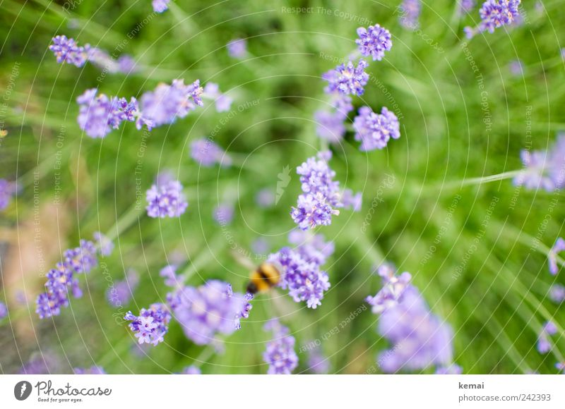 departure Environment Nature Plant Animal Sunlight Summer Grass Blossom Foliage plant Wild plant Lavender Meadow Bee Bumble bee Insect 1 Blossoming Flying