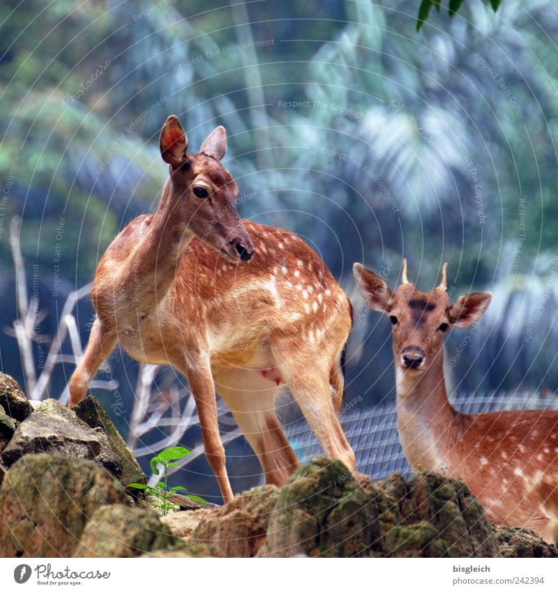 Bambi's parents Animal Wild animal Roe deer 2 Pair of animals Brown Colour photo Exterior shot Deserted Light Shallow depth of field Animal portrait Looking