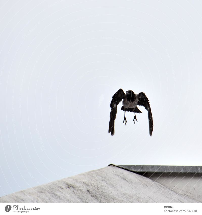 crow Nature Animal Sky Wild animal Bird Wing Claw 1 Flying Blue Gray Black Suspended Droop Crow Feather Concrete Roof Colour photo Exterior shot Deserted Day