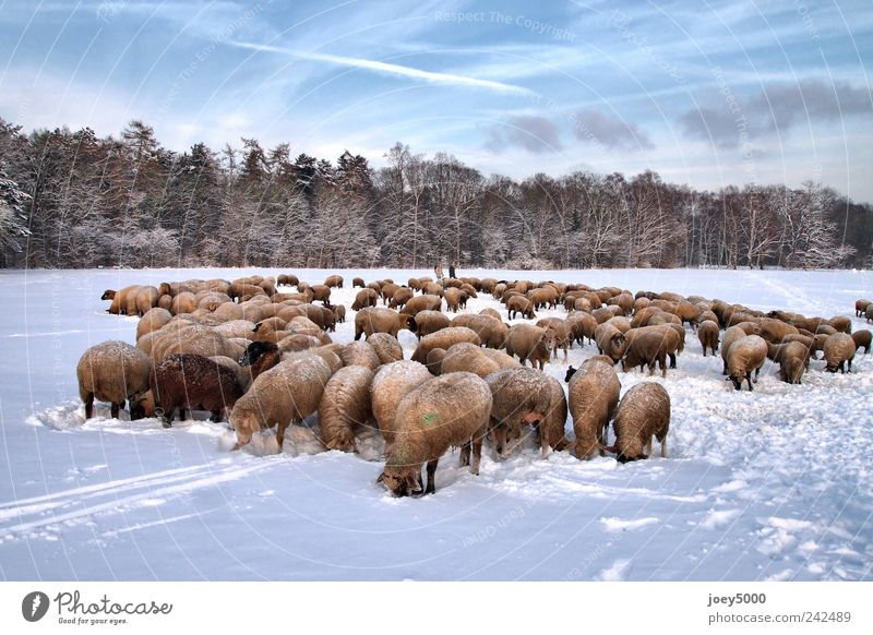 sheeps in winter Nature Animal Beautiful weather Snow Park Field Farm animal Herd Freeze Looking Authentic Exceptional Cold Natural Cute Blue Sympathy Together