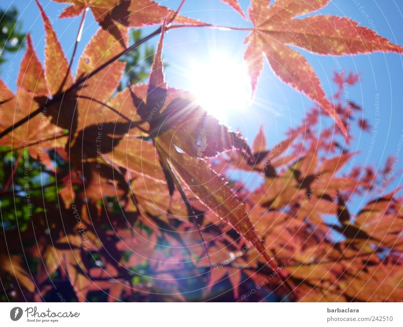 Fiery maple Leisure and hobbies To go for a walk Summer Sun Nature Sky Beautiful weather Tree Leaf Maple tree Illuminate Esthetic Bright Curiosity Warmth Blue